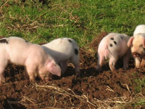 pigs 003