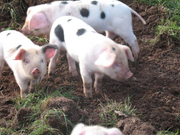pigs 011